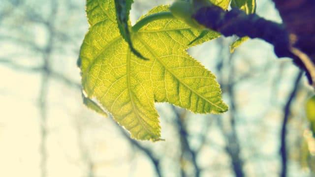 leaf shaped like a star